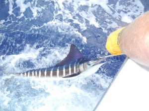 Gordon Paul's Striped Marlin Released March 7, 2011